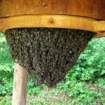 Bienen in einer Traube auf Naturbau