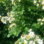 Bienen auf Rosenbusch am Sammeln