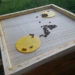 Bienenflucht zwischen Honig und Brutraum