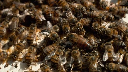 Bienen am TV: Verrückte Tierwelt – Kuriose Kämpfe